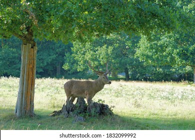 deer with an antler under a tree