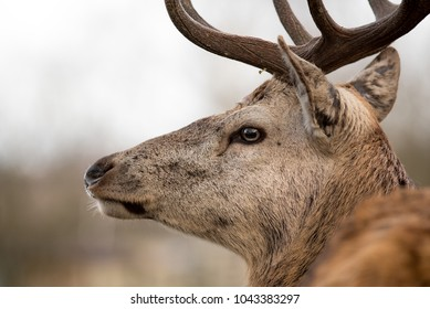 Deer with antlers. Close up.