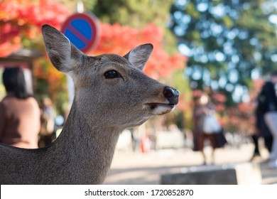 Deer around Nara park and Todaiji temple. Asian traveler visit in Nara near Osaka. landmark and popular for tourists attractions Japan. Asia travel concept