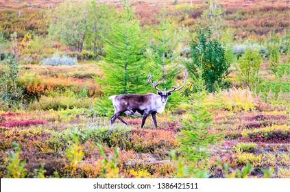Deer in autumn nature scene. Deer in autumn tundra. Deer autumn steppe. Autumn tundra deer view