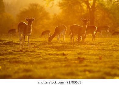 Deer backlit by the setting sun