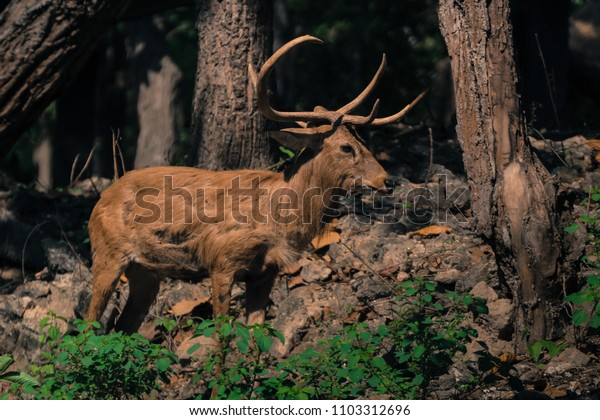 Deer with Beautiful Horn or Antler Standing in Forest and Instinct to be Careful of the Danger of the Enemy in Wild.
