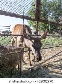 deer behind a fence in zoo