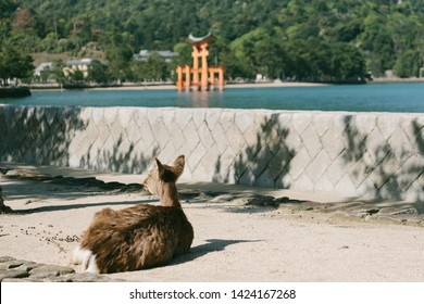 A deer and big Torii gate sunny day, Big Torii during low tide near Itsukushima shinto shrine at Miyajima, Japan