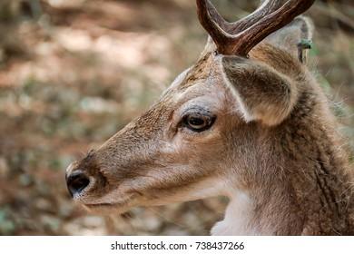 Deer Brown Face Closeup