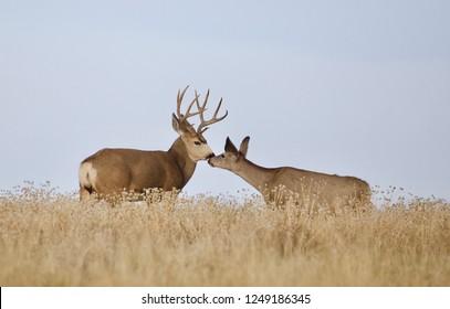 """Deer - buck and doe """"kissing"""" in the meadow"""