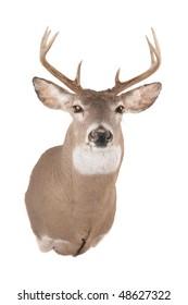 Deer or Buck head front view