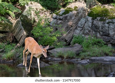 Deer by the Rocks at the River
