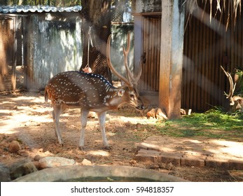 Deer in the cage