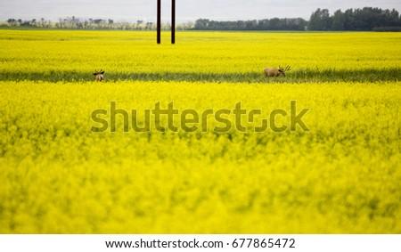 Deer canola field yellow flower crop stock photo edit now deer in canola field yellow flower crop mightylinksfo
