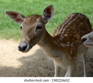 Deer close up on green grass background