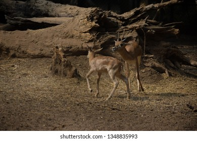 Deer constitute the second most diverse family of artiodactyla after bovids