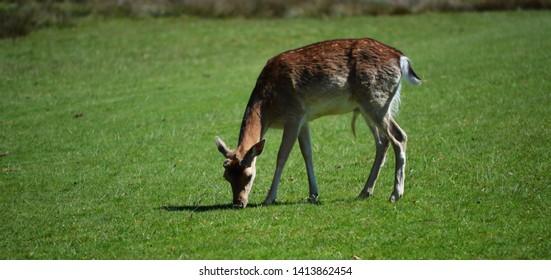 deer in country park England