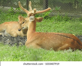 Deer Couple at Zoological Garden, Alipore, Kolkata