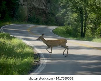 A deer crosses across the winding road at Needles Highway, Custer State Park, South Dakota.