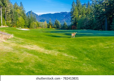 Deer crossing the golf course.