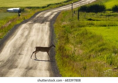 Deer crossing gravel road on summer evening in dazzling backlit conditions in Western Finland on 21 July 2017.