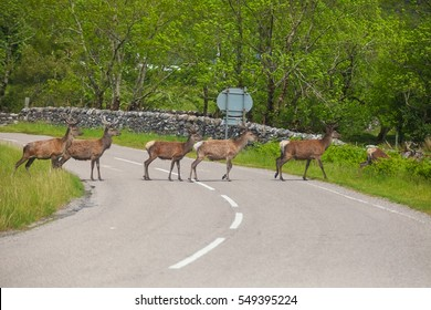 "Deer crossing the road. Deer in Highland Wildlife Park in Scotland. Buck Deer walks across highway on a blind curve, an ""accident waiting to happen"", Twisp, Washington; auto / car accident"