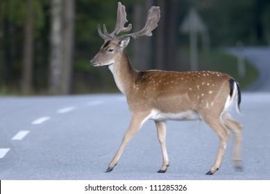 Deer crossing a road, Sweden