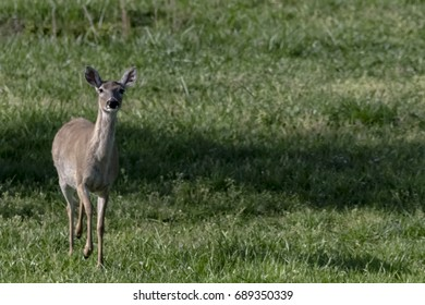 Deer Doe Coming Towards Us