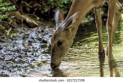 Deer drinking from stream.