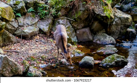 Deer drinking water  from  a creek
