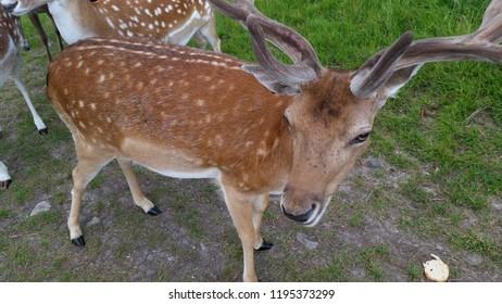 Deer, Dublin, Pheonix Park