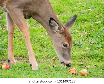 Deer was eating an apple at Mont-Tremblant National Park, Quebec, Canada