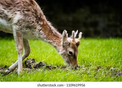 A deer eating grass in Pheonix Park, Dublin, Ireland, being cute