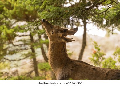 Deer eating from a tree at  Parnitha mountain in Greece.