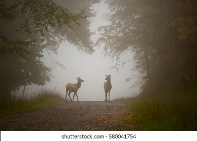 Deer or elk meet at an opening in the forest along a country lane in the autumn fog