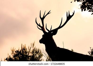 Deer, European deer Spain. Great Horns