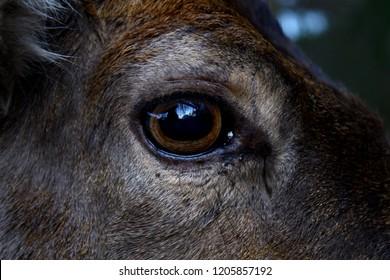 Deer eye closeup