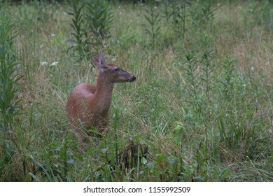 Deer facing to the right in field