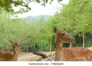 Deer Fallow eating freely in pasture