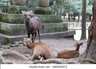 Hirschfamilie im Nara Park, Japan