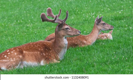 Deer Family of Three on the Green Grass