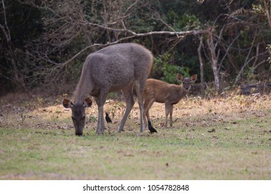 Deer family in the tropical forest.