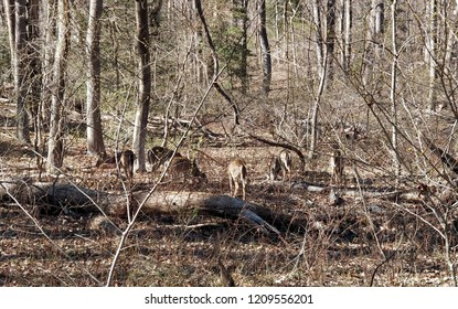 Deer feeding during early spring