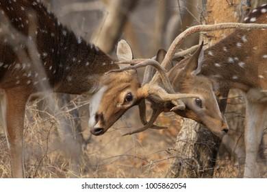 Deer Fight in Jungle