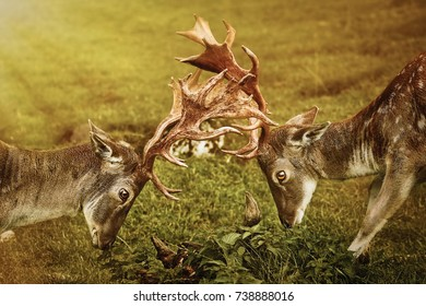 Deer Fight on the Pasture in Germany