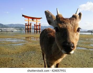 Deer and floating torii gate in Itsukushima Jinja Shrine, Itsukushima (Miyajima), Japan.