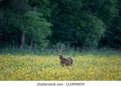 Deer in flowerfield