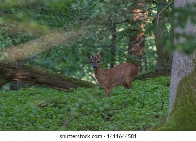 Deer in the forest.Deer in the forest looking into the camera