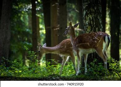 Deer in forrest