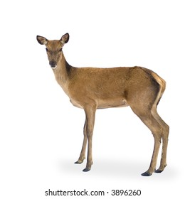 deer in front of a white background and looking at the camera