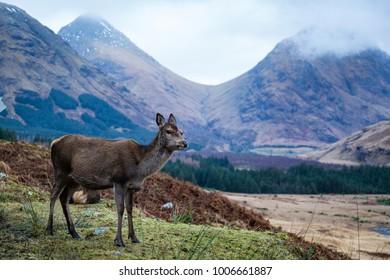deer in glen etive in winter in scotland - Shutterstock ID 1006661887