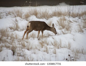 A deer grazing in the field in Vernon BC
