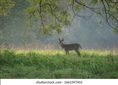 Deer Grazing In The Fields Of Cades Cove In Great Smoky Mountains National Park.