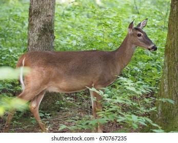 deer, Great Smoky Mountains National Park